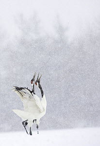Japanese / Red-crowned crane (Grus japonensis) pair displaying, calling, in snow, Tsurui, Kushiro-Shitsugen National Park, Hokkaido, Japan  -  Kerstin Hinze
