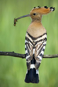 Hoopoe (Upupa epops) perched with a mole cricket as prey for its chicks, Bulgaria  -  Kerstin Hinze