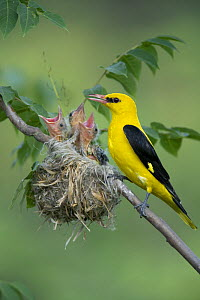 Golden Oriole (Oriolus oriolus) male feeding its chicks at nest, Bulgaria - Kerstin Hinze