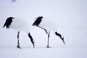 Japanese / Red-crowned crane (Grus japonensis)two feeding on the snow, Tsurui-Ito Tancho Sanctuary, Hokkaido, Japan - Kerstin Hinze