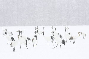 Japanese / Red-crowned crane (Grus japonensis) flock in snow, Tsurui, Kushiro-Shitsugen National Park, Hokkaido, Japan - Kerstin Hinze