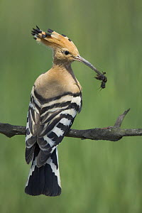 Hoopoe (Upupa epops) adult perched with mole cricket prey for its chicks, Bulgaria  -  Kerstin Hinze
