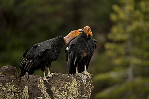 California condor {Gymnogyps californianus} immature males interacting, perched on rock, Utah, USA, Endangered, raised in captivity and released into the wild. - John Cancalosi