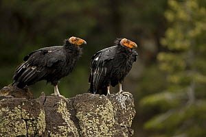 California condor {Gymnogyps californianus} immature males perched on rock, Utah, USA, Endangered, raised in captivity and released into the wild. - John Cancalosi