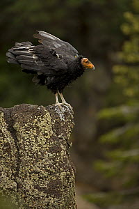 California condor {Gymnogyps californianus} perched on rock, Utah, USA, Endangered, immature male raised in captivity and released into the wild. - John Cancalosi