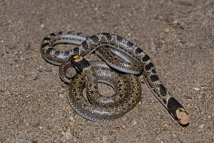 Shovel-snout snake (Prosyma sundevalli) neonates from same litter showing pattern variation. DeHoop Nature reserve, Western Cape, South Africa  -  Tony Phelps