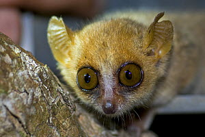 Madame Berthe's mouse lemur {Microcebus berthae} being released from live trap, Kirindy Forest, western Madagascar, Smallest primate in the world, Endangered - Mark Carwardine