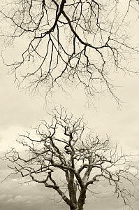 Looking up at branches of Dead Wych elm trees {Ulmus glabra} killed by Dutch elm disease, summer 2007, Scotland, UK - Niall Benvie