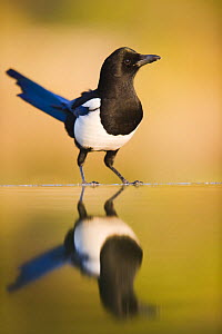 Magpie {Pica pica} coming to drink at a pool, Alicante, Spain - Niall Benvie