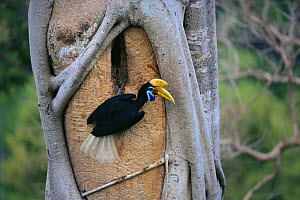Female Knobbed hornbill (Aceros cassidix) at nest hole. Chick in nest is near fledging and female has emerged to assist male in feeding chick. Tangkoko Batuangus / Dua Saudara Nature Reserve, Sulawesi... - Tim Laman