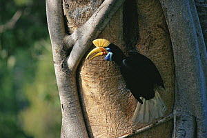 Female Knobbed hornbill (Aceros cassidix) at nest hole. Chick is near fledging and female has emerged to assist male in feeding chick. Tangkoko Batuangus / Dua Saudara Nature Reserve, Sulawesi Island,... - Tim Laman