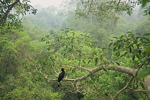 Rhinoceros hornbill (Buceros rhinoceros) perched in tree, Gunung Palung National Park, West Kalimantan, Borneo, Indonesia.  -  Tim Laman