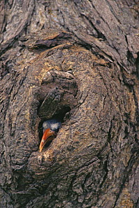 Red-billed hornbill (Tockus erythrorhynchus) chick peering out of nest hole, its first step toward emerging into the outside world, Africa  -  Tim Laman