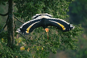 Great indian hornbill (Buceros bicornis) in flight, Khao Yai National Park, Thailand  -  Tim Laman