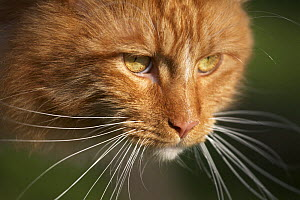 Maine coon red tabby cat, portrait - Adriano Bacchella