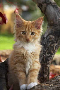 Maine coon red tabby cat kitten, three-months  -  Adriano Bacchella