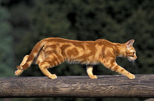 European red blotched tabby cat walking along raised log, Italy - Adriano Bacchella