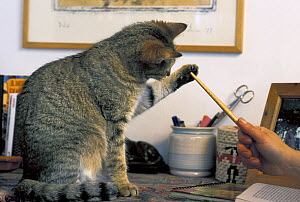 Domestic cat sitting on desk, playing with pencil, Italy  -  Adriano Bacchella
