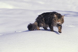 Maine coon cat, walking over snow  -  Adriano Bacchella