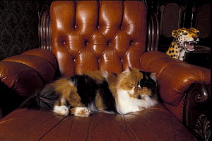 Black, white and cream mackerel tabby persian cat resting in armchair  -  Adriano Bacchella