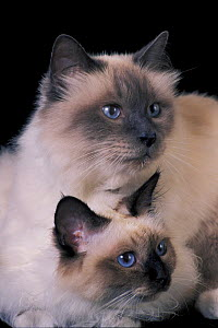 Two Birman cats, showing deep blue eyes  -  Adriano Bacchella
