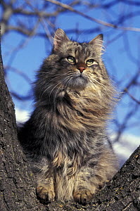 Looking up at Siberian cat in tree  -  Adriano Bacchella