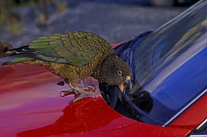 Kea (Nestor notabilis) trying to remove rubber trim from car windscreen, South Island, New Zealand - John Cancalosi