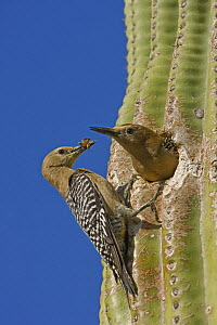 Gila woodpecker (Melanerpes uropygialis) female brings prey to nest, male about to leave nest in Saguaro cactus, Sonoran desert, Arizona, USA - John Cancalosi