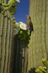 Gila woodpecker (Melanerpes uropygialis) female feeding on nectar and insects in Saguaro cactus blossom, Sonoran desert, Arizona, USA - John Cancalosi