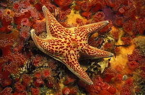Leather sea star (Dermasterias imbricata) on rocky reef covered with Strawberry sea anemones (Corynactis californica). California, USA, Pacific Ocean.  NOT FOR SALE IN THE USA.  -  Brandon Cole