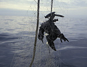 Dead Common guillemot {Uria aagle} killed by entanglement in a gill fishing net. Washington, USA, Pacific Ocean.~ NOT FOR SALE IN THE USA.  -  Brandon Cole