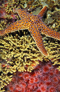 Giant spined / Knobby sea star (Pisaster giganteus) on coral reef, California, USA, Pacific Ocean.  NOT FOR SALE IN THE USA. - Brandon Cole