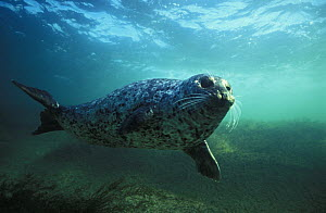 Common / Harbor seal (Phoca vitulina) swimming underwater, British Columbia, Canada, Pacific Ocean.  NOT FOR SALE IN THE USA  -  Brandon Cole