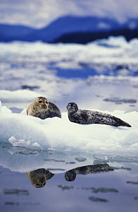 Common / Harbor seals (Phoca vitulina) mother and pup on iceberg at base of tidewater glacier. Alaska, USA, Pacific Ocean.  NOT FOR SALE IN THE USA.  -  Brandon Cole
