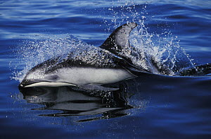 Pacific white-sided dolphin (Lagenorhynchus obliquidens) at surface, Pacific Ocean.  NOT FOR SALE IN THE USA  -  Brandon Cole