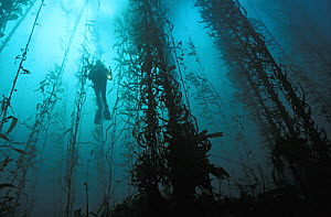 Scuba diver (model released) in kelp forest. California, USA, Pacific Ocean.~ NOT FOR SALE IN THE USA.  -  Brandon Cole