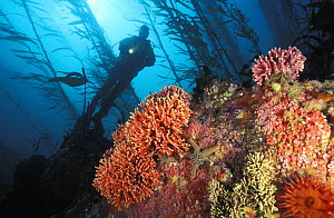 Scuba diver (model released) explores a colourful rocky reef in kelp forest, clumps of California hydrocoral (Allopora californica) on reef. California, USA, Pacific Ocean.  NOT FOR SALE IN THE USA.  -  Brandon Cole