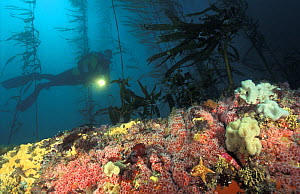 Scuba diver (model released) swims through kelp forest, colourful offshore reef covered with invertebrates - anemones, sea stars, sponges, tunicates, bryozoans. California, USA, Pacific Ocean.~ NOT FO...  -  Brandon Cole