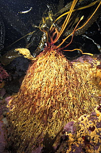 Giant kelp (Macrocystis pyrifera) Close up of haptera, the root-like anchors of the kelp plant. This holdfast absorbs water and nutrients directly from the water. California, USA, Pacific Ocean. Pho... - Brandon Cole