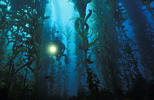 Scuba diver (model released) explores Giant Kelp forest (Macrocystis pyrifera). California, USA, Pacific Ocean.~ NOT FOR SALE IN THE USA.  -  Brandon Cole