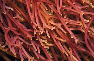 Giant kelp (Macrocystis pyrifera) haptera. These root-like anchors are also called the holdfast. They secure plant to substrate and absorb water and nutrients directly from water. California, USA, Pac... - Brandon Cole