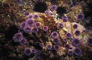 """Sea urchins, most are Purple sea urchins {Stronglyocentrotus purpuratus}. This shows an """"urchin barrens"""". A population explosion resulted in them eating all of the kelp, leaving the reef barren. Event...  -  Brandon Cole"""