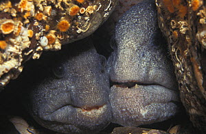 Wolf eels (Anarrhichthys ocellatus) mated pair guarding egg mass. Should hatch in 13-16 weeks. Female on left, male right. British Columbia, Canada, Pacific Ocean.  -  Brandon Cole