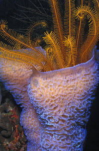 Vase sponge (Callyspongia plicifera) and crinoid (Davidaster rubiginosa). Dominica, Caribbean Sea.  NOT FOR SALE IN THE USA  -  Brandon Cole