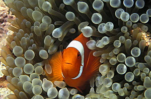 Spine-cheek anemonefish (Premnas biaculeatus) Indonesia, Indo-Pacific Ocean.  NOT FOR SALE IN THE USA  -  Brandon Cole