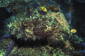 Broadclub cuttlefish (Sepia latimanus), well camouflaged. Can quickly change color to match surroundings. Indonesia, tropical Pacific Ocean.  NOT FOR SALE IN THE USA  -  Brandon Cole