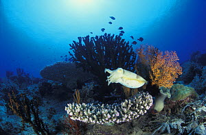 Broadclub cuttlefish (Sepia latimanus) hovering over coral reef. Indonesia, tropical Pacific Ocean.  NOT FOR SALE IN THE USA  -  Brandon Cole
