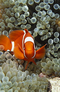 Spine-cheek anemonefish (Premnas biaculeatus) Indonesia, tropical Pacific Ocean.  NOT FOR SALE IN THE USA  -  Brandon Cole