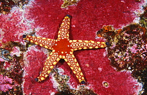 Necklace sea star (Fromia monilis) Thailand, Indian Ocean.  NOT FOR SALE IN THE USA  -  Brandon Cole