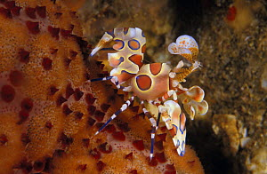 Harlequin shrimp (Hymenocera picta) feeding on sea star. Thailand, Indian Ocean.  NOT FOR SALE IN THE USA - Brandon Cole